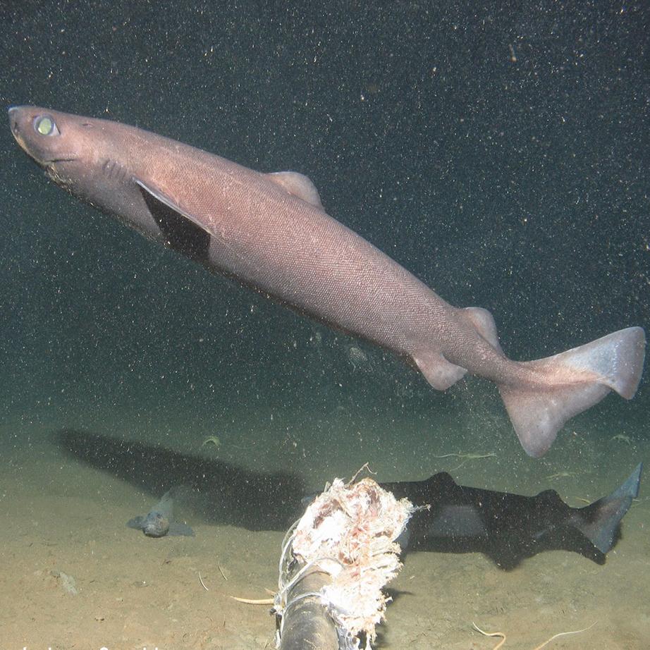 tubarões de profundiade